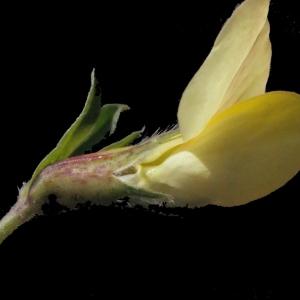 Photographie n°224903 du taxon Lotus maritimus L. [1753]