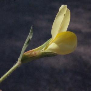 Photographie n°224905 du taxon Lotus maritimus L. [1753]