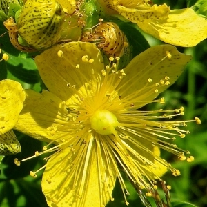 Hypericum maculatum Crantz (Millepertuis taché)