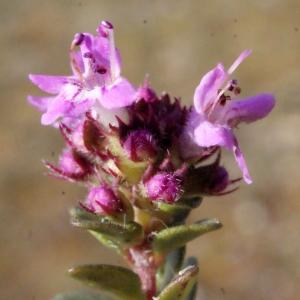 Photographie n°224933 du taxon Thymus praecox Opiz [1824]