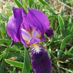 Iris lutescens Lam. subsp. lutescens (Iris des garrigues)