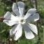 Jean-Claude Echardour - Silene latifolia Poir. [1789]