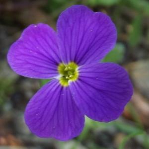 Aubrieta deltoidea (L.) DC. (Aubriète)