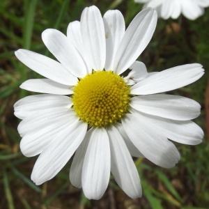 Pyrethrum inodorum Moench (Camomille inodore)