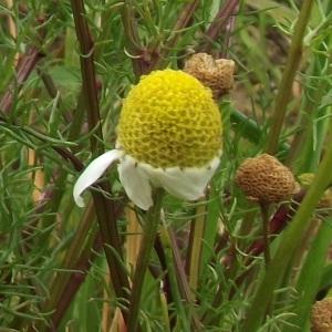 Photographie n°225396 du taxon Tripleurospermum inodorum (L.) Sch.Bip. [1844]