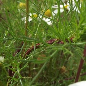 Photographie n°225398 du taxon Tripleurospermum inodorum (L.) Sch.Bip. [1844]