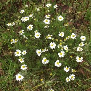 Photographie n°225399 du taxon Tripleurospermum inodorum (L.) Sch.Bip. [1844]