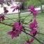 Hervé GOËAU - Prunus persica (L.) Batsch