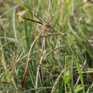 Carex flacca Schreb. subsp. flacca (Laiche flasque)