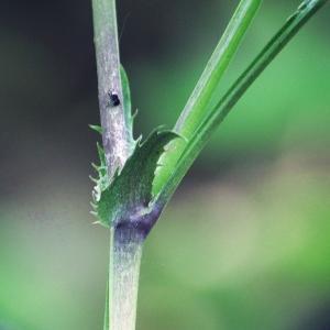 Photographie n°225601 du taxon Viola riviniana Rchb.