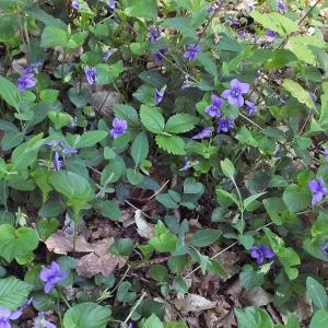 Photographie n°225606 du taxon Viola riviniana Rchb.