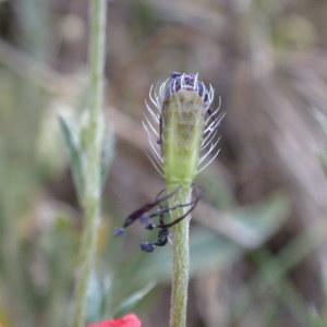 Photographie n°225615 du taxon Papaver argemone subsp. argemone