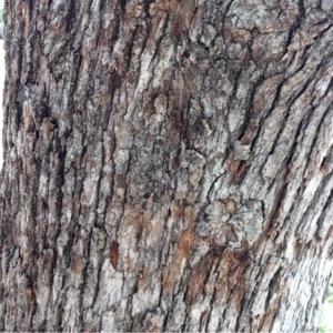 Photographie n°225766 du taxon Quercus robur L. [1753]