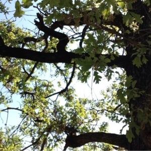 Photographie n°225768 du taxon Quercus robur L. [1753]