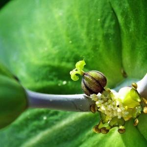 Euphorbia lathyris L. (Euphorbe des jardins)