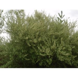 Elaeagnus multiflora Thunb. (Cherry Elaeagnus)