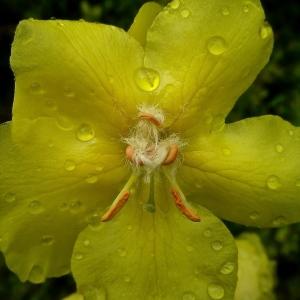 Photographie n°225841 du taxon Verbascum thapsus L.
