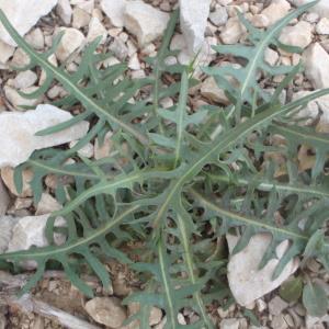 Photographie n°225860 du taxon Lactuca perennis L.