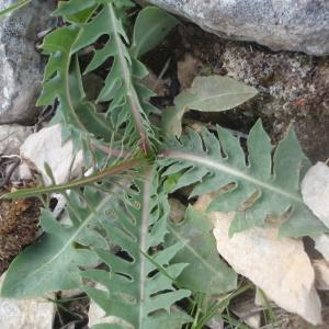 Photographie n°225862 du taxon Lactuca perennis L.