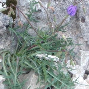 Photographie n°225863 du taxon Lactuca perennis L.