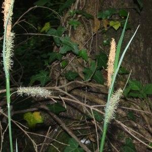 Photographie n°225885 du taxon Carex flacca Schreb. [1771]