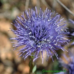 Globularia vulgaris L. (Globulaire commune)