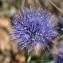 Bernard Andrieu - Globularia vulgaris L.