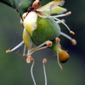 Poncirus trifoliata (L.) Raf. (Japanese Bitter-orange)