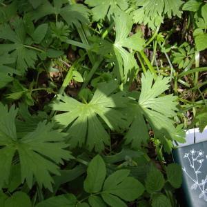 Photographie n°226121 du taxon Aconitum vulparia Rchb. [1819]