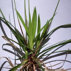 Photographie n°226133 du taxon Carex digitata L.