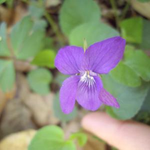 Photographie n°226188 du taxon Viola riviniana Rchb.