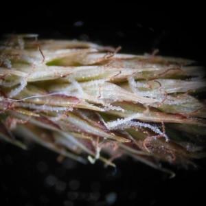 Photographie n°226214 du taxon Carex pendula Huds.