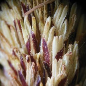 Photographie n°226215 du taxon Carex pendula Huds.