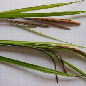 Photographie n°226217 du taxon Carex pendula Huds.