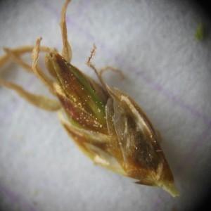Photographie n°226220 du taxon Carex paniculata L.