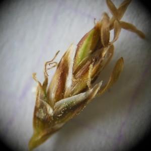 Photographie n°226221 du taxon Carex paniculata L.
