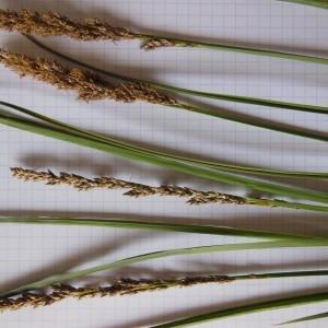 Photographie n°226222 du taxon Carex paniculata L.