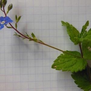 Photographie n°226231 du taxon Veronica chamaedrys L. [1753]