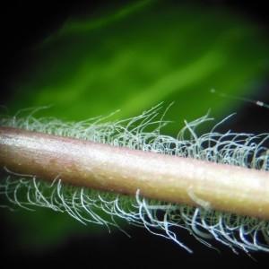 Photographie n°226235 du taxon Veronica chamaedrys L. [1753]