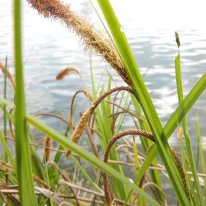 Photographie n°226249 du taxon Carex pendula Huds.