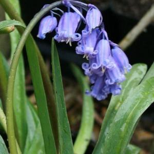 - Hyacinthoides non-scripta (L.) Chouard ex Rothm. [1944]