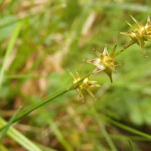 Photographie n°226485 du taxon Carex echinata Murray