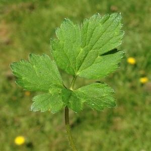 Photographie n°226540 du taxon Ranunculus bulbosus L. [1753]