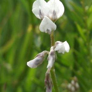 Photographie n°226549 du taxon Vicia hirsuta (L.) Gray [1821]