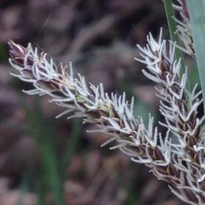 Photographie n°226567 du taxon Carex flacca Schreb. [1771]