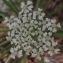 Alexis JOLY - Laserpitium gallicum L.