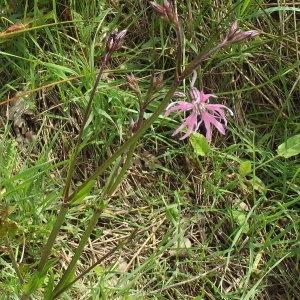 Photographie n°226747 du taxon Silene flos-cuculi Greuter & Burdet [1982]