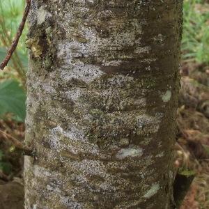 Photographie n°226750 du taxon Tamarix tetrandra Pall. ex M.Bieb. [1808]