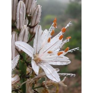 Asphodelus macrocarpus Parl. subsp. macrocarpus (Asphodèle de Villars)