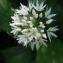 Anny Raim - Allium ursinum L.